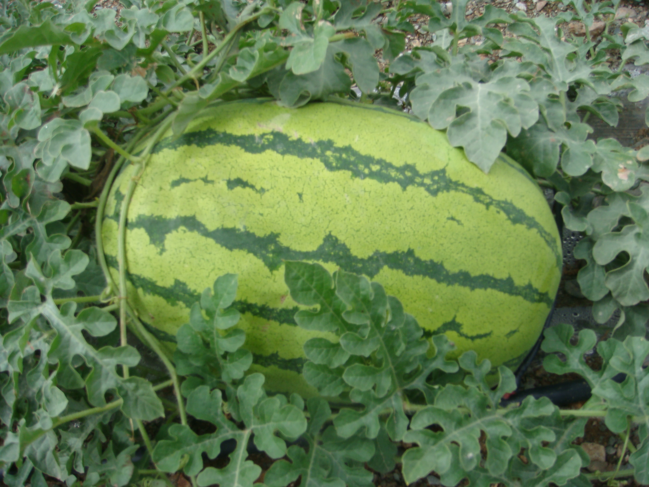Red Watermelon Hybrid Seeds