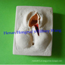 ISO 3 Conjunto de modelo de prática de sutura de Vulva, Episiorrhaphy Trainer