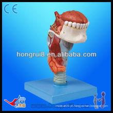 Modelo de modelo médico de alta qualidade ISO Modelo de anatomia modelo Laringe com modelo de laringe de língua e dentes