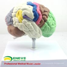 BRAIN09 (12407) Modèle humain du cerveau fonctionnel, modèles d'anatomie> Modèles de cerveau médical