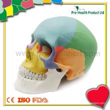 Modelo de crânio humano anatômico médico de plástico
