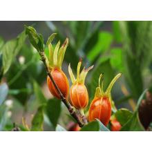 Gardenia Extract Use for Anti-Inflammatory