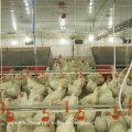 Equipamento de avicultura automática para manejo de frangos de corte para pais