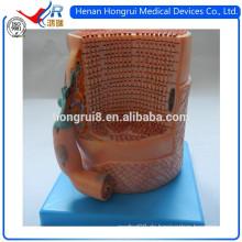 ISO Anatomie Skelett Muskelfasern Modell mit Motor Endplatte