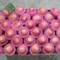 frische Früchte der chinesischen Frucht frischer Apfel chinesische Apfelfrucht