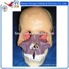 Модель ISO для взрослых с черепом, цветная модель черепа