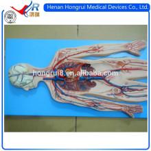 ISO-анатомическая модель системы кровообращения