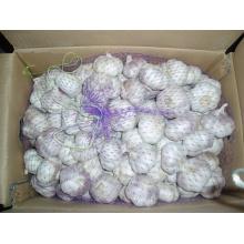 Embalaje de cartón Fresh White White Garlic (4.5cm y más)