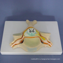 Человеческая первая шейная мануальная анатомическая медицинская модель (R140101)