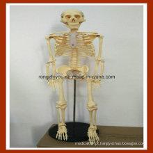 Modelo de Esqueleto de Anatomia Humana de 85cm para Educação