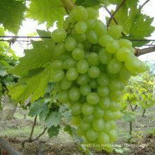 Китайский свежий и сладкий зеленый виноград
