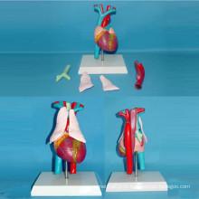 Modelo de anatomia médica das artérias e veias cardíacas (R130103)