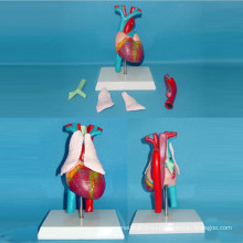 Медицинская анатомическая модель сердечной артерии и вены (R130103)