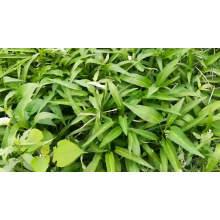 Green stem kongxin cai kangkong water spinach  seeds