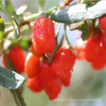 Chine fournir des fruits de baies de goji bio séchées au soleil