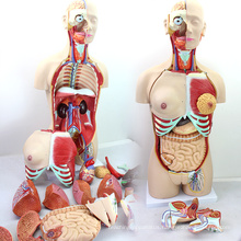 TORSO04 (12015) Medical Science 85cm Deluxe Dual-Sex Torso Model with Opened Back, 29 part, Human Anatomy Model for School