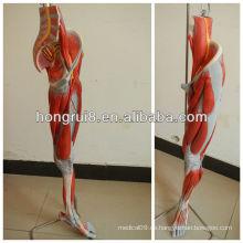 ISO Deluxe Anatomisches Modell der Beinmuskeln mit Hauptgefäßen und Nerven