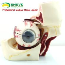 EYE03 (12527) Medical Anatomy Model 10-Parts 3x Life S ize Eye con modelo de órbita