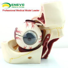 EYE03 (12527) Modelo de anatomia médica 10 partes 3x Olho de vida com modelo de órbita