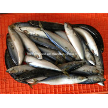 Small Specification Frozen Pacific Mackerel Fish