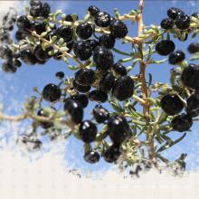 Medlar Organic Food Red Dried Black Gojiberry