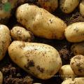 Bangladesh frische organische Kartoffel