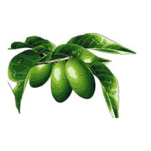 High Quality Olive Leaf Extract