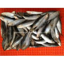 Pequena especificação com peixe congelado de sardinha