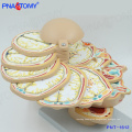 PNT-1612 Life size disc head Brain Anatomical Model