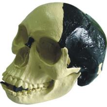 Modelo Anatômico Médico Bill Toledo Skull Humano