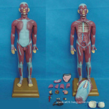 Human Medical Anatomical Muscular System Model (R030111)