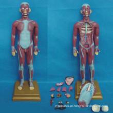 Modelo de sistema muscular anatômico médico humano (R030111)