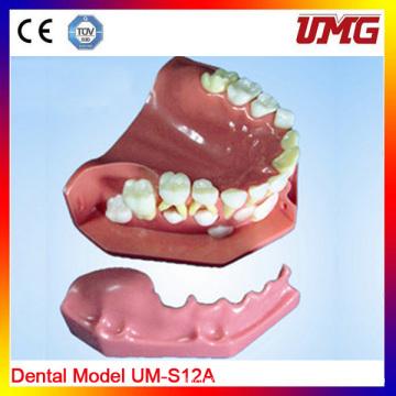 Dental Products Dental Study Model High Quality Dental Teeth Model