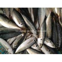 Hochwertige gefrorene Pferde Makrelen Fische