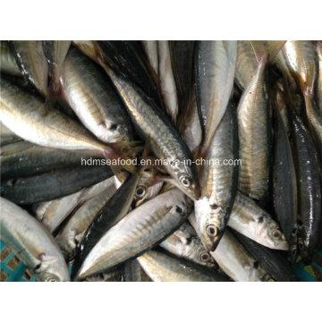 High Quality Frozen Horse Mackerel Fish