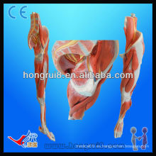 Modelo Muscular ISO, Anatomía Músculos de las Piernas con Vasos y Nervios Principales
