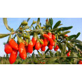 Chinese Dried Goji Berries, Organic Wolfberry, Healthy Food, Dry Fruits