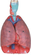 Respiratory System Model-Mh07032