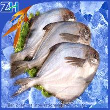 white pomfret fish chinese white pomfret