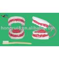 Giant Tooth Brushing Model,dental care model