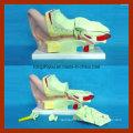 4 Times Human Big Ear Anatomical Model (4 pieces)