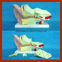 4 veces el modelo anatómico grande humano del oído (4 pedazos)