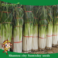 Suntoday vegetable F1 Organic garden buying online English green Chinese scallion onion seeds bulk in supplier(81009)