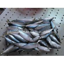 Nuevo suministro de pescado India caballa