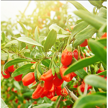 Agriculture+Food+Goji+Berry