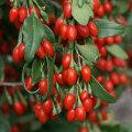 Ningxia Certified Superfood -Goji Berries