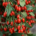 Bio Ningxia Red Goji Beeren - 100% Superrohstoff