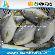 Pompano dourado congelado / peixes Pomfret na venda
