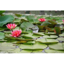 100% Natural Water Lily Plant Extract 4: 1~20: 1