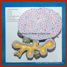 Human Pancreas Cell Model for Medical Teaching